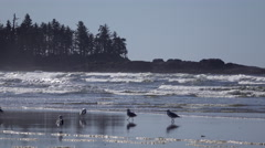 Seagulls at Pacific Rim National Park Stock Footage