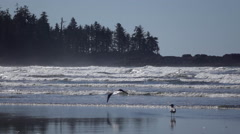 Seagulls in Slow Motion at Pacific Rim National Park Stock Footage