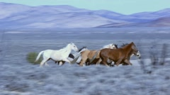 Beautiful wild horses gallop on a remote ranch in Navada, USA - stock footage