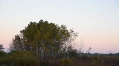 Redwing Blackbird Flock Take Flight Stock Footage