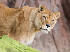 Lion on alert - stock photo