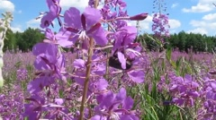 Fireweed honey plant and insects Stock Footage