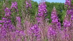 Fireweed honey plant and Bumblebee Stock Footage