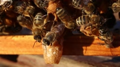 Bees care for larvae of Queen Bee Stock Footage
