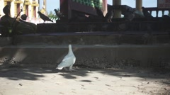 White Dove Flies up on Step. Slow Motion Stock Footage