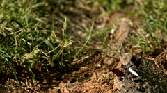 Common Whitetail Skimmer Dragonfly Taking Off in Slow Motion Stock Footage