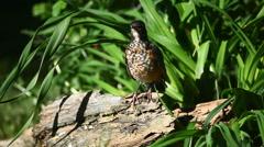 Juvenile American Robin, Turdus migratorius Stock Footage