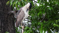 Black-crowned Night-Heron, Nycticorax nycticorax, preening Stock Footage
