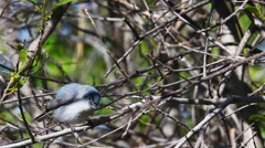 Blue Gray Gnatcatcher, Polioptila caerulea, in song Stock Footage