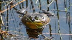 American Bullfrog, Lithobates catesbeianus, croaking - stock footage