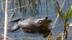 Croaking American Bullfrog, Lithobates catesbeianus Stock Footage