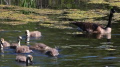 Canada Goose, Branta canadensis, with young - stock footage
