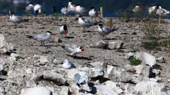 Young Caspian Tern, Hydroprogne caspia - stock footage