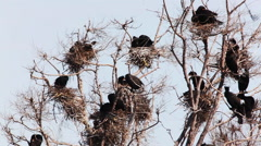Colony of Double Crested Cormorants, Phalacrocorax auritus nesting Stock Footage