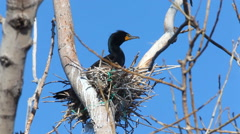 Double Crested Cormorant, Phalacrocorax auritus on the nest Stock Footage