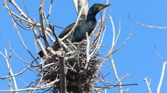 Double Crested Cormorant, Phalacrocorax auritus on nest Stock Footage