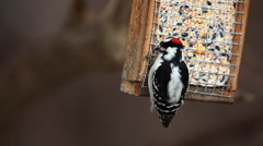 Downy Woodpecker, Picoides pubescens at suet feeder Stock Footage