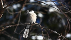 Gray Jay, Perisoreus canadensis at Algonquin - stock footage