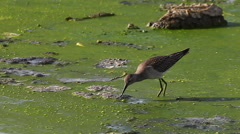Lesser Yellowlegs, Tringa flavipes in marsh Stock Footage