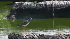 Lesser Yellowlegs, Tringa flavipes Stock Footage