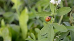 Lady bug climbing on leaves Stock Footage
