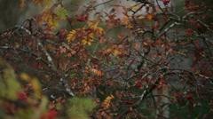 Sparrow eating the rowan berries Stock Footage