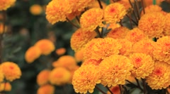 Beautiful blooming Chrysanthemum flowers (golden-daisy) in the garden Stock Footage