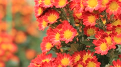 Stock Video Footage of beautiful blooming Chrysanthemum flowers (golden-daisy) in the garden
