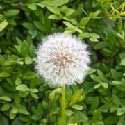 Dandelion on a background of green leaves. - stock photo