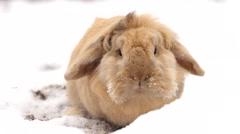 Cute dwarf rabbit in snow - stock footage