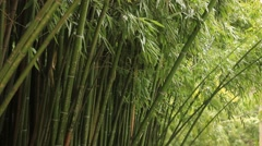 Growing bamboo trees Stock Footage