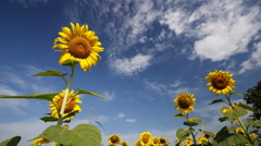 Timelapse of sunflower with sky Stock Footage