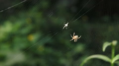 Spider weaves web - stock footage
