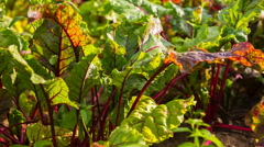 Beetroot leaves growing in garden moving by wind. Stock Footage