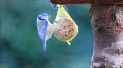 Blue tit on fat ball, wild bird seed Stock Footage