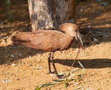 Hamerkop preparing to nesting - stock photo