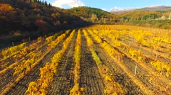 AERIAL VIEW. Flight Over Rows Of Vineyards At Fall Season - stock footage
