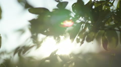 Tree leaves with sun flaring through in afternoon light Stock Footage
