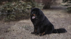 Black Tibetan mastiff on walk with the owner in the autumn park Stock Footage