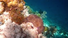 Topical saltwater fish ,clownfish - Coral reef in the Maldives, Anemonefish Stock Footage