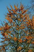 Sea buckthorn tree - stock photo