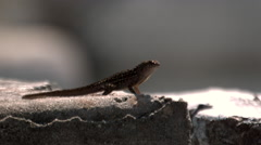 Anolis Lizard Running on a Concrete Wall in Slow Motion  Stock Footage