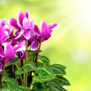Pink flower cyclamen Stock Photos