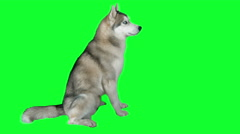 Dog siberian hasky. Green screen highly detailed 4K footage.  Stock Footage