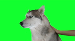 Dog siberian hasky. Green screen highly detailed 4K footage Stock Footage