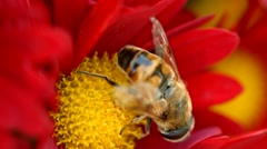 A honey bee collecting nectar from a red chrysanthemum flower - stock footage