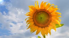 Closeup of single sunflower with sky - stock footage