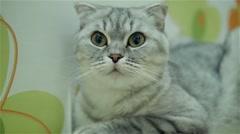 Scottish fold cat lies on the heat radiator  - stock footage