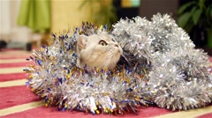 Christmas tinsel and scottish fold cat Stock Footage