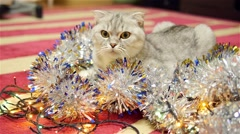 Scottish fold cat with christmas garland and tinsel 4 Stock Footage